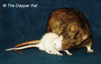 Rat Articles