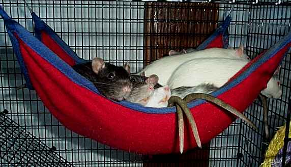 Medium image of photograph by missy ruud of raisin u0027 rats rattery
