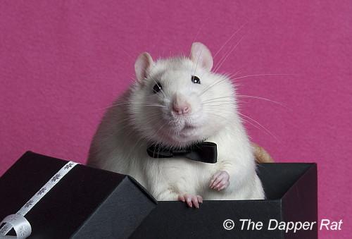 the dapper rat